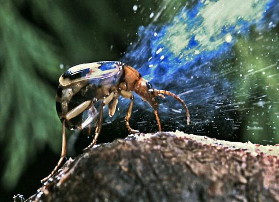 Escarabajo Bombardero