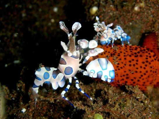 Hymenocera picta (Camarón arlequín)