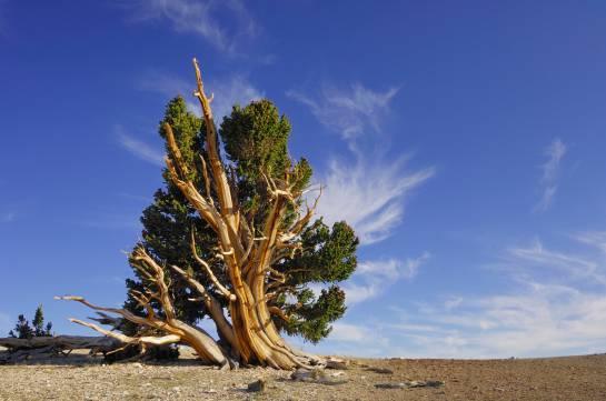 Matusalén, bristletone pine-Pinus longaeva