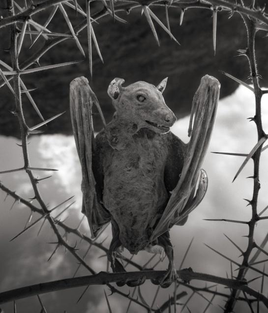 Murciélago calcificado