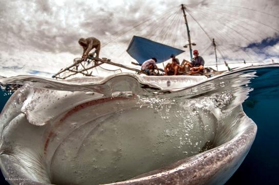 Alimentando a los tiburones ballena, en Filipinas
